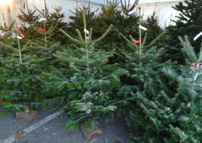 Sapin de Noël Nordmann français sur bûche en vente Jardinerie Pradel Horticulture à Bagnères de Luchon
